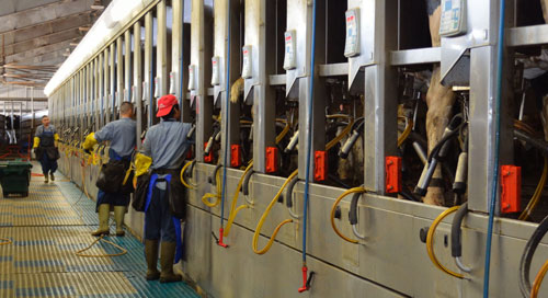 milking in a parlor barn