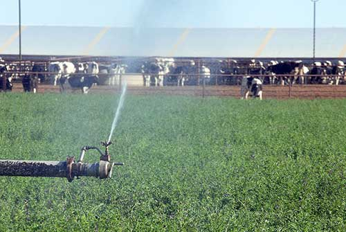 irrigation sprinkler with cows in background