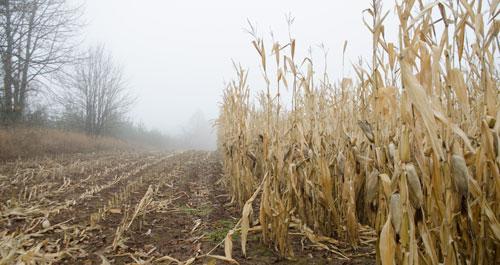 corn field in winter