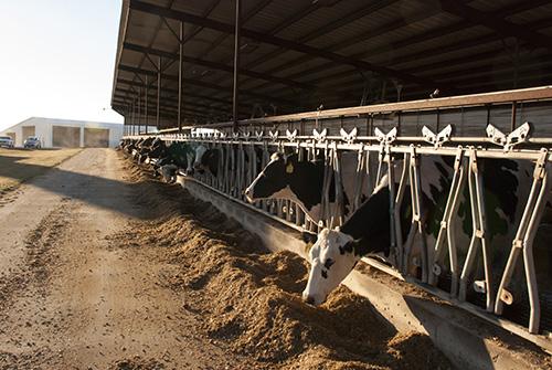 cows at lockups