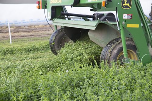 cutting alfalfa
