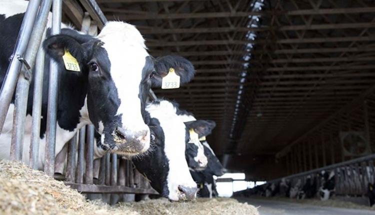 HDN_ER-cows