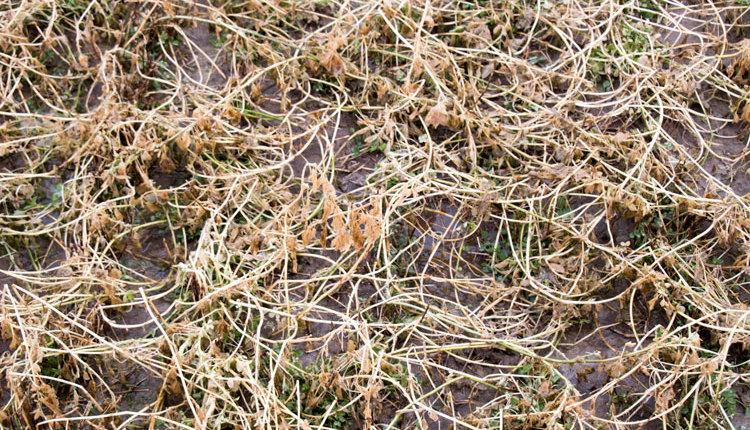 blog-alfalfa