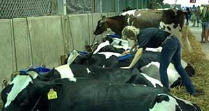 brushing a heifer at the fair