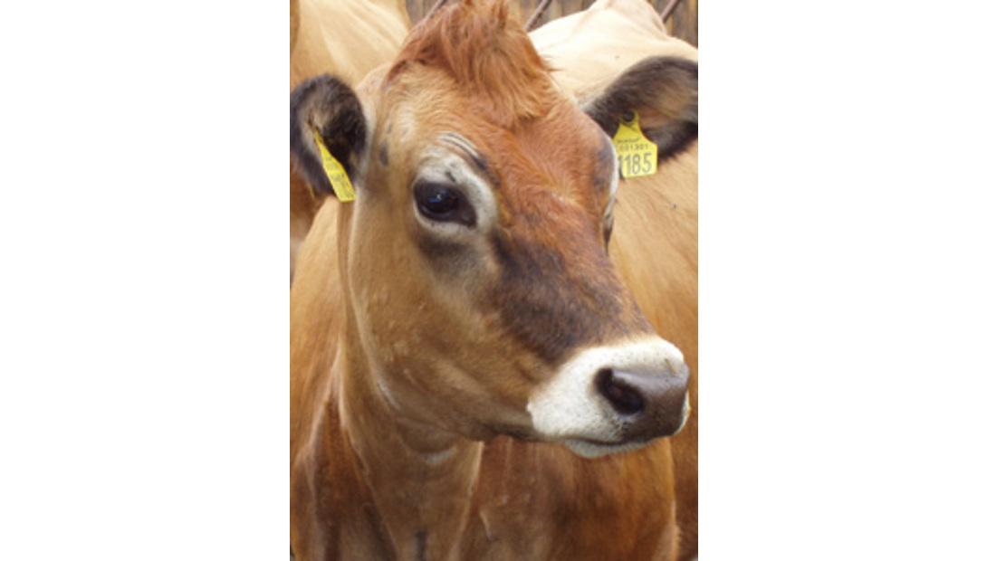 jersey cow cropped